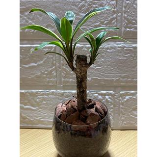 観葉植物 コーディーライン 23(その他)