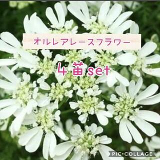 オルレアレースフラワー 花苗 4株set(その他)