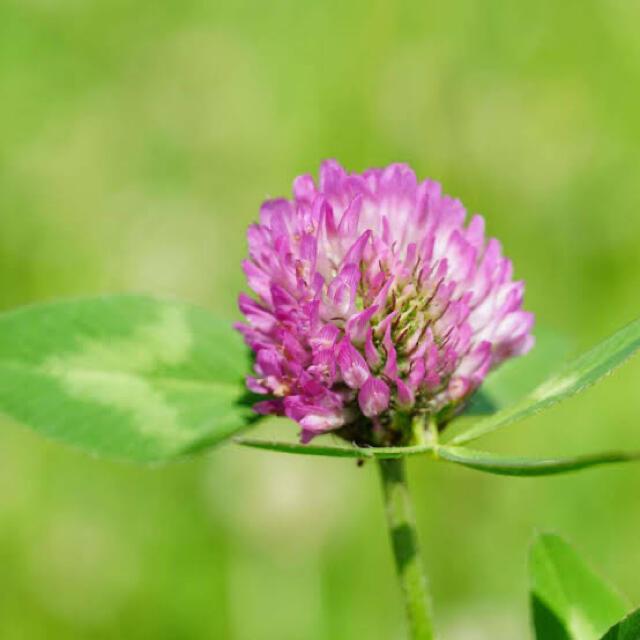 【最安値】レッドクローバー、アカクローバーの種 21g (約4200粒)  ハンドメイドのフラワー/ガーデン(その他)の商品写真