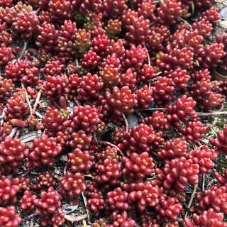176多肉植物 赤く紅葉するセダム コーラルカーペット 70苗^_^(その他)