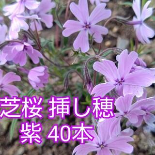 芝桜 挿し穂 紫 40本(その他)