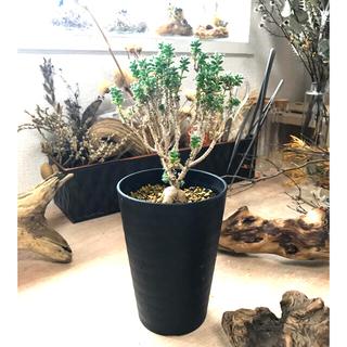 トリコディアデマ コーデックス 塊根植物(プランター)