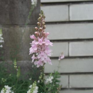 リナリア ピンク 白 紫 ミックス(その他)