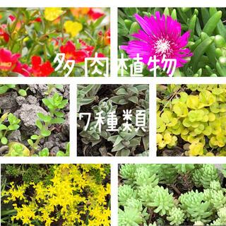 マツバ セダム マンネンソウ 多肉植物 7種類(その他)