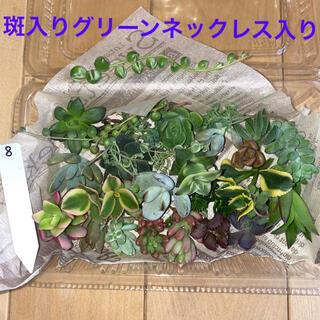 8 多肉植物 カット苗 多肉弁当(その他)