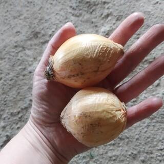 数量限定❤熊本県産 新玉ねぎ小玉2Sサイズ8キロ約90個 ❤送料込2000円(野菜)