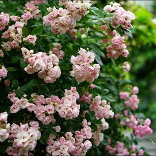 つるバラ 群舞 挿し木苗 根っこ付き ピンクのバラ
