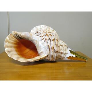 法螺貝 <40,5cm/2300g> 山伏 修験 神具 仏具 ほら貝(その他)