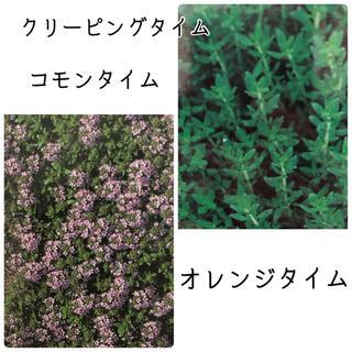 タイム 3種 種子(その他)