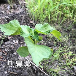 無農薬 しそ苗(野菜)