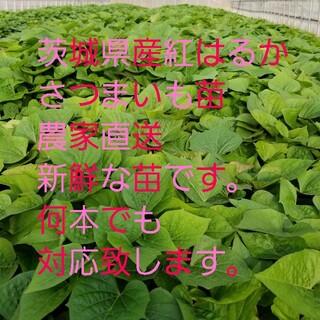 さつまいも 苗 10本 紅はるか 本数少しおまけ付き 本場茨城県産農家直送便