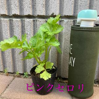 ピンクセロリ1株