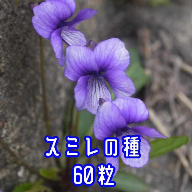 スミレ (マンジュリカ)の種 60粒 2021年採種 ハンドメイドのフラワー/ガーデン(その他)の商品写真
