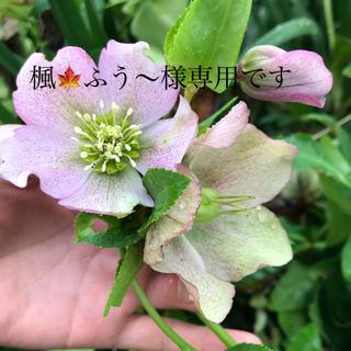 【花 種】               クリスマスローズの種 100粒+α(その他)