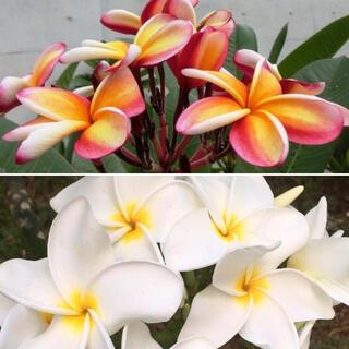プルメリアの種 イエロー/ピンク系と白系花 6粒X2種 12粒(その他)