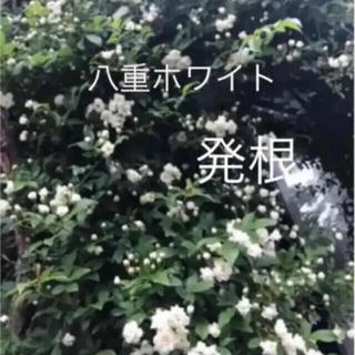 (ᵔᴥᵔ)商談♡モッコウバラ 白 ♡八重♡苗 ♡可愛いお庭♡ガーデン(その他)