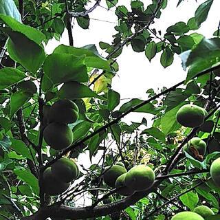 福岡県産★もぎたて青梅約1キロ コンパクト便 栽培期間中農薬不使用(フルーツ)