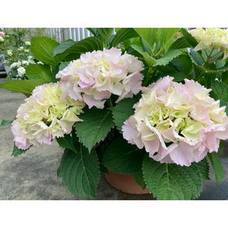 フリルたっぷり ふんわりピンク紫陽花 「シンデレラの初恋♡」1鉢 『A』(その他)