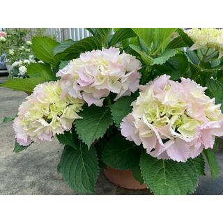 フリルたっぷり ふんわりピンク紫陽花 「シンデレラの初恋♡」1鉢 『B』(その他)