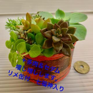 多肉植物 詰め合わせ リメ缶付 七福神入り(その他)