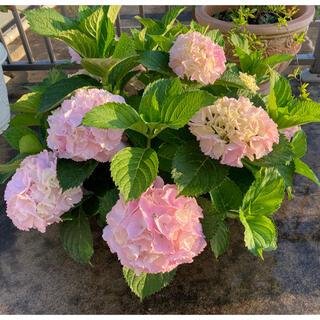 フリルたっぷり ふんわりピンク紫陽花 「シンデレラの初恋♡」1鉢 『C』(その他)