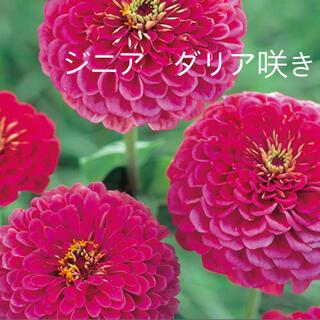 ジニア 百日草 種子(その他)