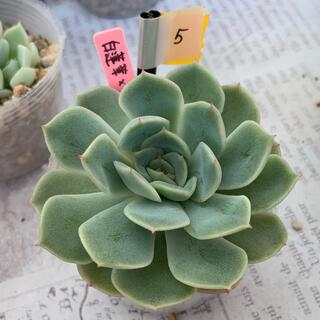 5.多肉植物 実生苗 白蓮華×沙羅姫牡丹(その他)
