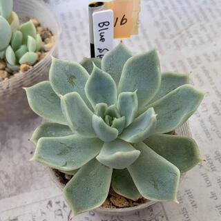16.多肉植物 BlueSpine(その他)