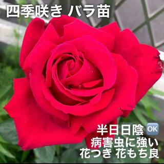 四季咲きバラ苗   大輪  赤 挿し木苗(その他)