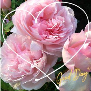 ◆清楚で気品あるエアリーなバラ苗挿し木用『挿し穂』2本セット(その他)