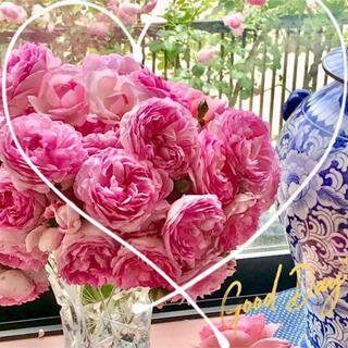 ◆スィーティーなボリューム満点つるバラ苗挿し木用『挿し穂』2本セット(その他)