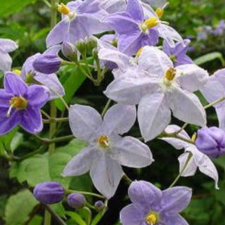 花の苗 星型の花 ヤマホロシ (その他)