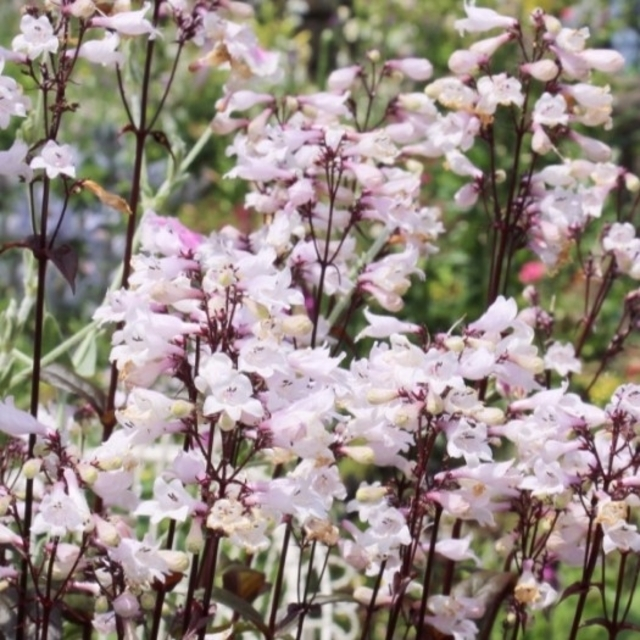 ペンステモン ハスカーレッド 種 ハンドメイドのフラワー/ガーデン(その他)の商品写真