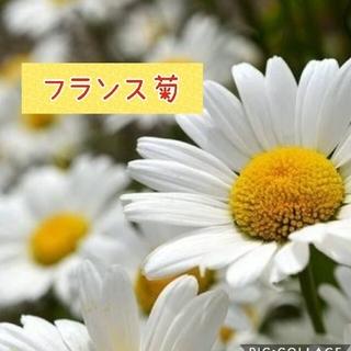 フランス菊(プランター)