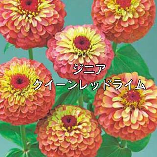 ジニア クイーンレッドライム 種子(その他)