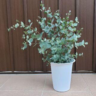 大きめ♪ユーカリグニー 鉢植え 観葉植物 シンボルツリーに♪ 苗木 苗(プランター)