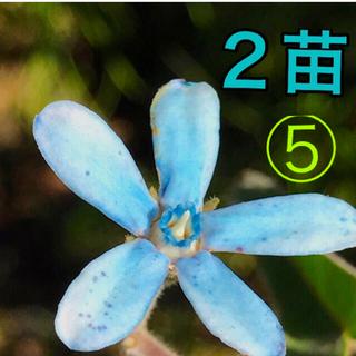 ⑤ オキシペタラム   ブルー 2 苗(プランター)