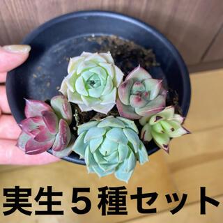 多肉植物 実生苗 5種セット