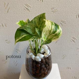 ポトス ハイドロカルチャー 観葉植物
