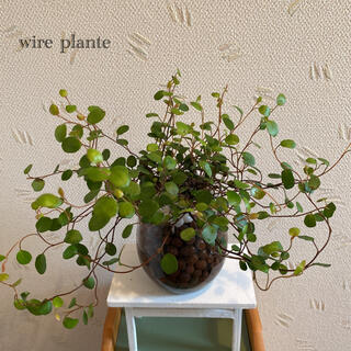 ワイヤープランツ 観葉植物 ハイドロカルチャー