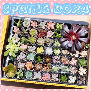 ルポゼ 多肉植物 SpringBOX4 現品