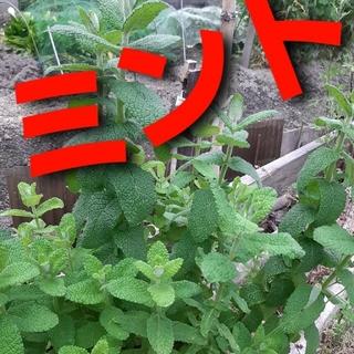 無農薬!人参葉 匿名配送 ネコポスよりかなり大きい郵パケット(角2size)(野菜)