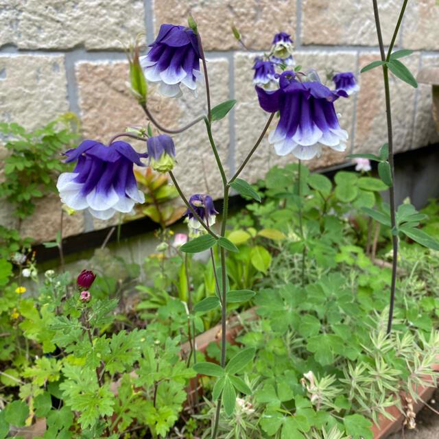 オダマキ 青紫&薄桃 各45粒☆計90粒、増量しました。 ハンドメイドのフラワー/ガーデン(その他)の商品写真