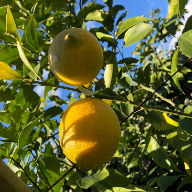 国産 レモン 広島県産 無農薬 レモン 瀬戸内レモン 2kg 食品/飲料/酒の食品(フルーツ)の商品写真