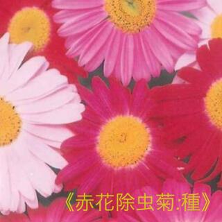 赤花除虫菊 種30粒➕おまけ ロビンソンミックス 多年草 バジルの種も。(その他)