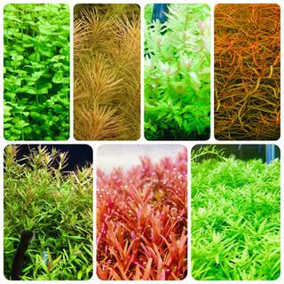 水草セット 水中葉 無農薬 無害虫(アクアリウム)