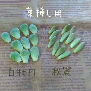多肉植物【白牡丹&秋麗】葉挿し用(その他)
