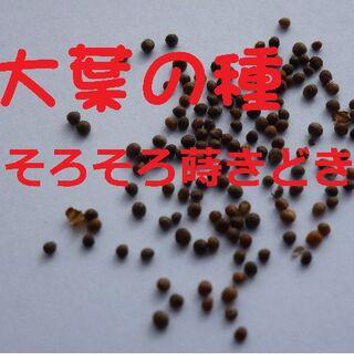 大葉 種【50粒 無農薬】(野菜)