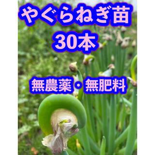 やぐらねぎ  苗 30本  【フォロー割】
