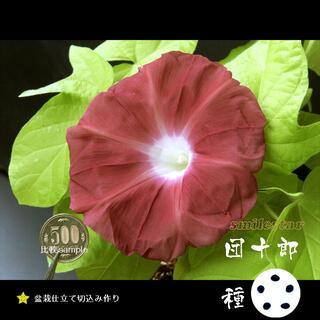 ★朝顔の種 5粒 団十郎専門栽培 2020年産★MAY41(その他)